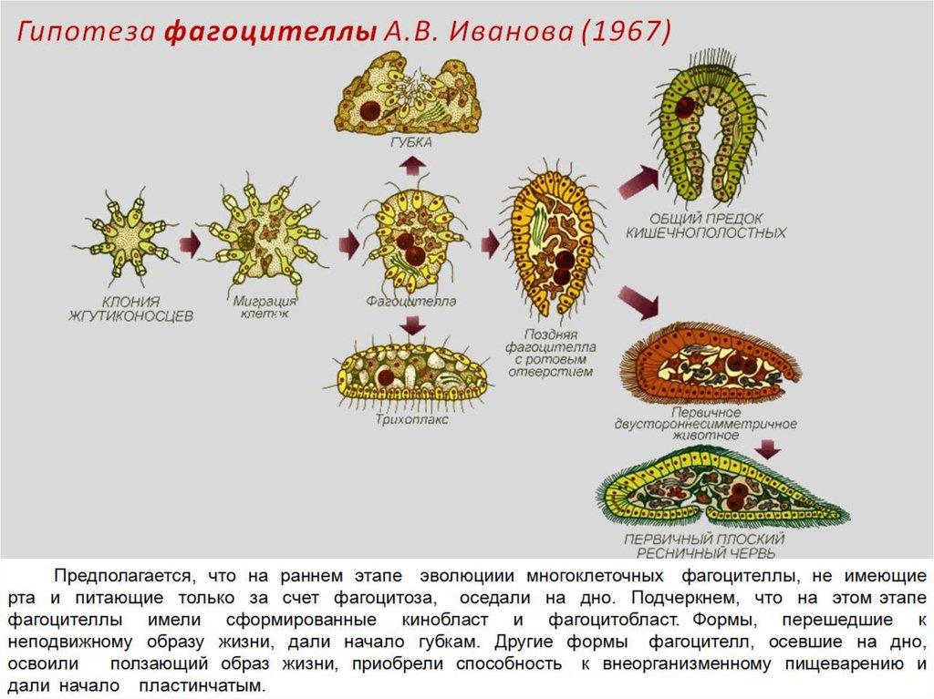 Эволюционное развитие многоклеточных организмов