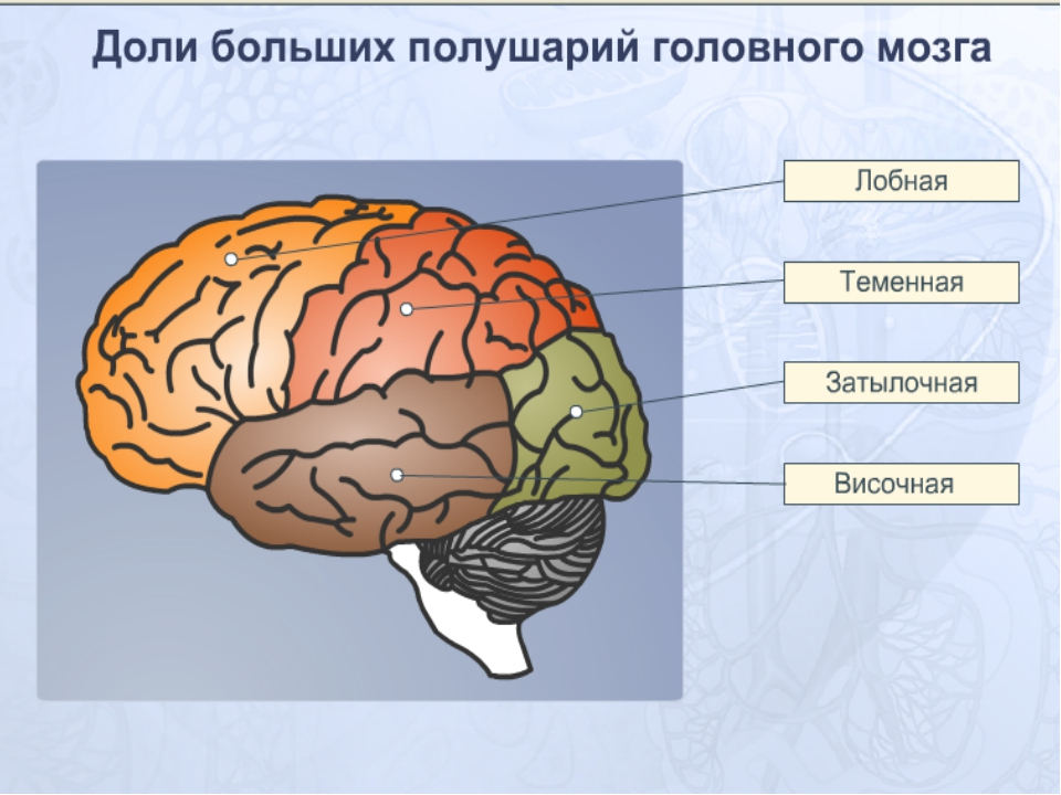 Парные доли мозга: затылочная, теменная, височная и лобная