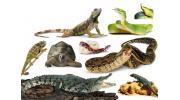 Пресмыкающиеся: регенерация ящериц и кровь крокодила
