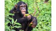 Шимпанзе: поведение, питание и сходство происхождения животного