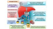 Функции печени: регенерация, обмен веществ, синтез и детоксикация