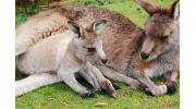 Кенгуру: особенности образа жизни и размножения животного